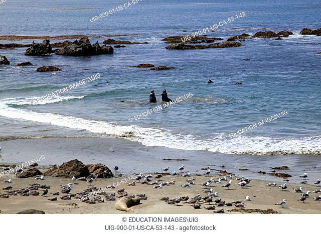 Elephant Seals, Piedras Blancas, San Simeon, San Luis Obispo County, California