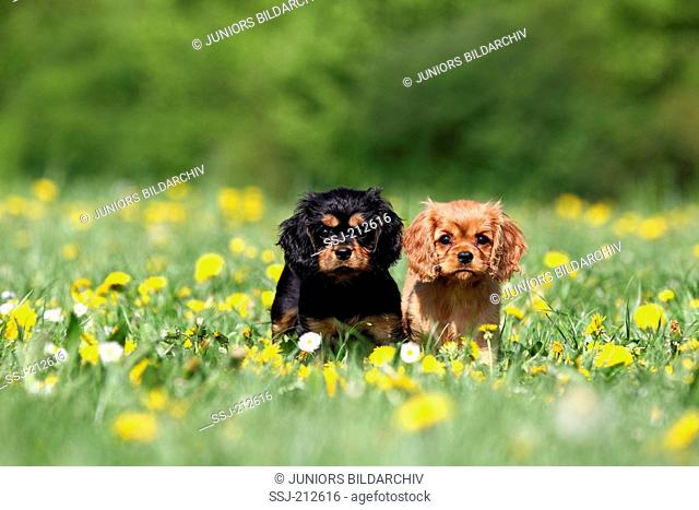 Cavalier King Charles Spaniel. Two puppies (9 weeks old) standing on a meadow. Germany