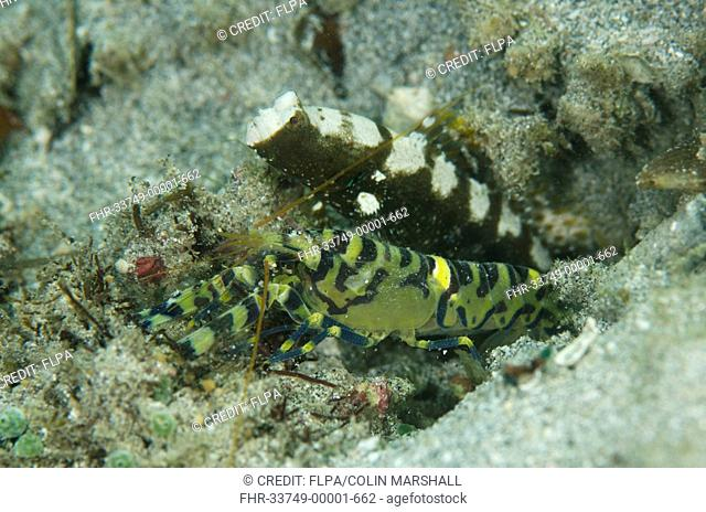 Marbled Snapping Shrimp (Alpheus rapax) adult, and Saddled Shrimpgoby (Cryptocentrus leucostictus) adult, at entrance to shared burrow, Candidasa, Bali