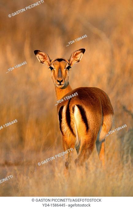 Impala Aepyceros melampus, Kruger National Park, South Africa