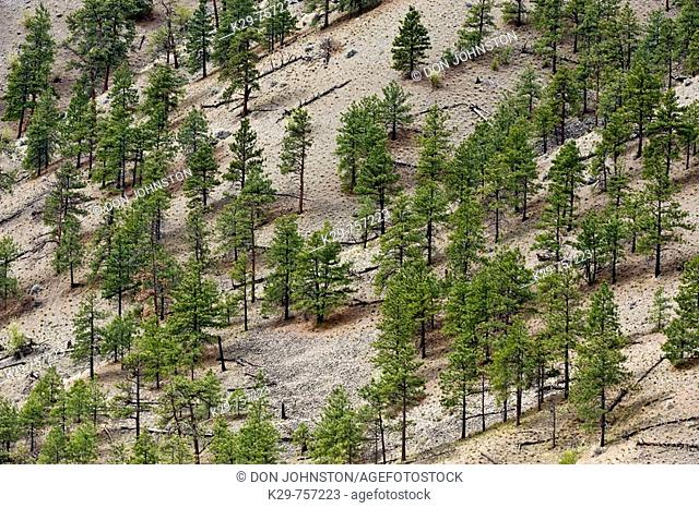 Pine tree population on Thompson River Canyon walls in semi arid environment