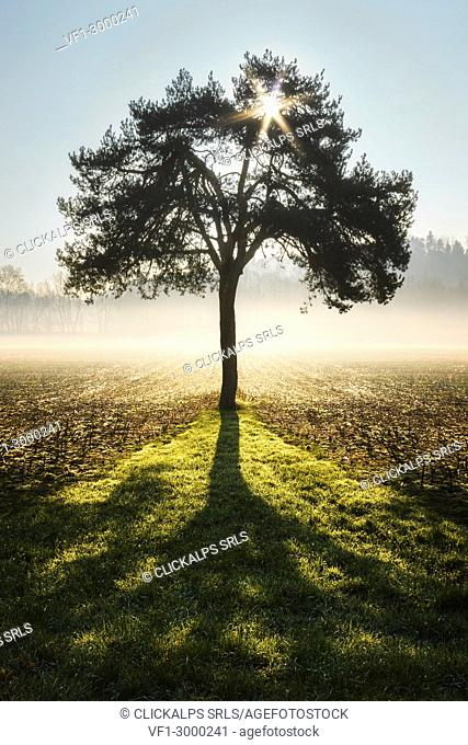 Shadow of a lonely tree at sunrise, Como province, Lombardy, Italy, Europe