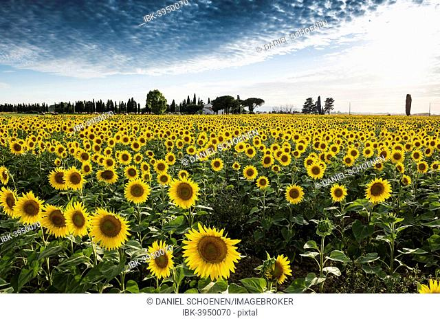 Sunflower field with pine trees and cypress trees, near Piombino, Province of Livorno, Tuscany, Italy
