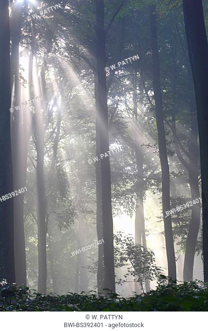 common beech (Fagus sylvatica), beech forest in mist, Belgium, Ardennes, Beukenbos