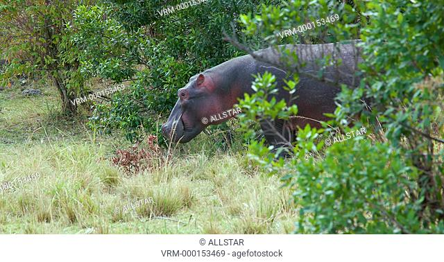 HIPPOPOTAMUS GRAZING; MAASAI MARA, KENYA, AFRICA; 08/09/2016