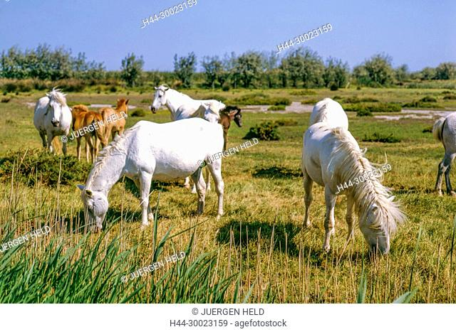 White Camargue Horses with foal, Camargue, France