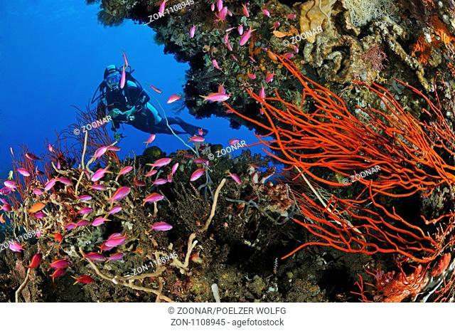 Pseudanthias tuka und Ellisella ceratophyta,Taucher am bunten Korallenriff mit Purpur-Fahnenbarschen und Besengorgonie, scuba diver with colorful coral reef and...