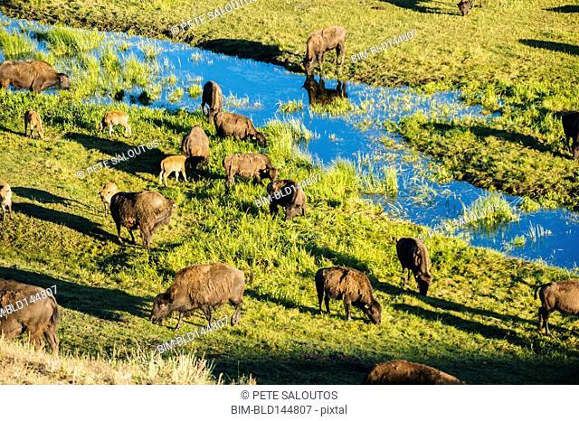 Buffalo herd grazing in grassy field near creek