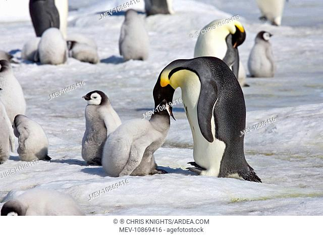 Emperor Penguin - Chick being fed regurgitated food from adults throat (Aptenodytes forsteri). Snow Hill Island, Antarctic October
