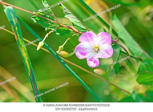 field bindweed, Convulvus arvensis