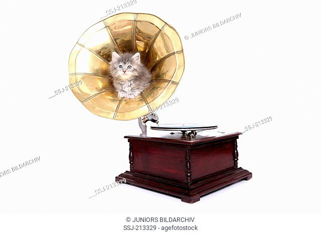 American Longhair, Maine Coon. Kitten (6 weeks old) sitting in the horn of a cylinder phonograph. Studio picture against a white background. Germany