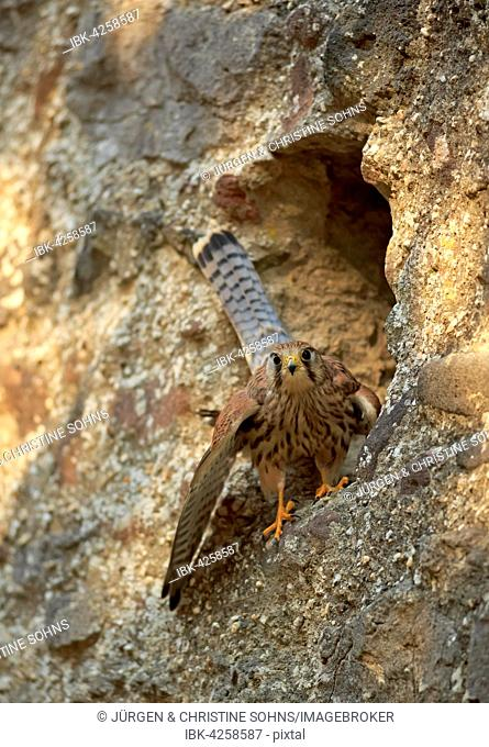 Common kestrel (Falco tinnunculus), adult on rock in front of nesting hole, Kasselburg, Eifel, Germany