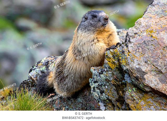 alpine marmot (Marmota marmota), peering from behind a rock, Switzerland, Valais
