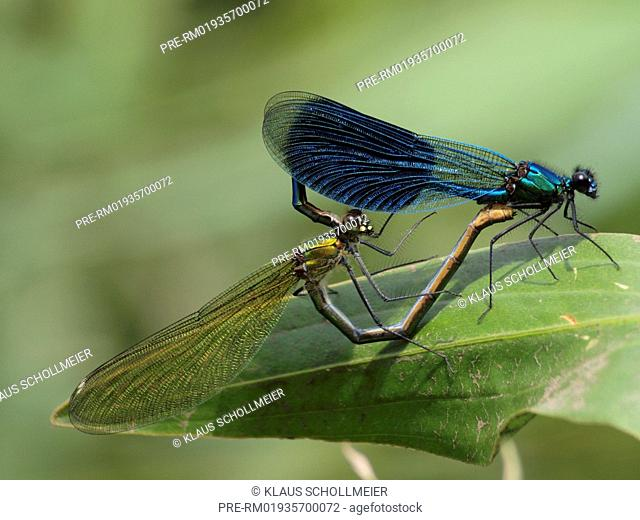 Banded Demoiselle, maiting wheel, Calopteryx splendens / Gebänderte Prachtlibelle, Paarungsrad, Calopteryx splendens