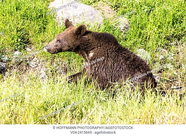 Young grizzly bear (Ursus arctos horribilis) in a field, captive, California, USA