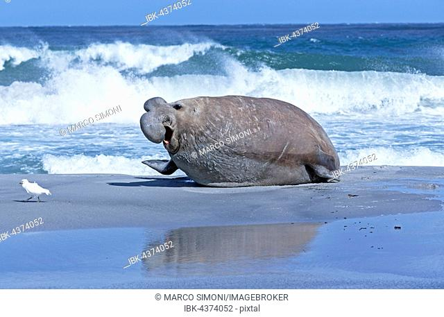Southern elephant seal (Mirounga leonina) with little bird at beach, male, Sea Lion Island, South Atlantic, Falkland Islands