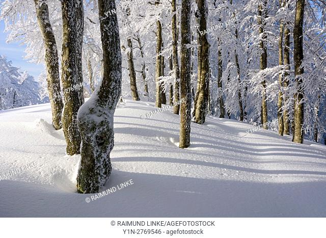 Snow covered beech forest in winter, Schauinsland, Black Forest, Freiburg im Breisgau, Baden Wurttemberg, Germany