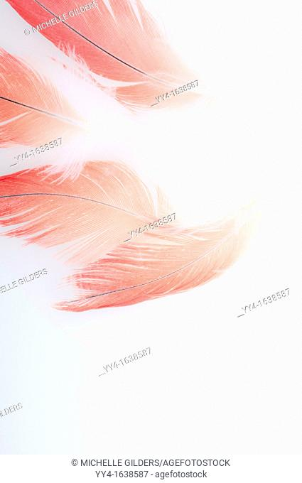 Abstract of Congo African gray parrot, Psittacus erithacus erithacus, red tail feathers back-lit against a white background