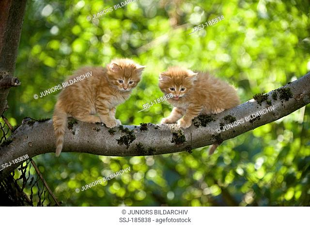 American Longhair, Maine Coon. Two kittens (red tabby, 6 weeks old) sitting on a branch