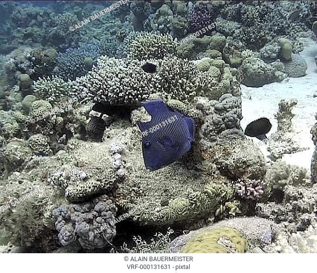 Blue triggerfish Pseudobalistes fuscus. Dahab, Red Sea