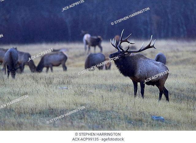 Bull Elk, cervus canadensis, Waterton Lakes National Park, Alberta, Canada