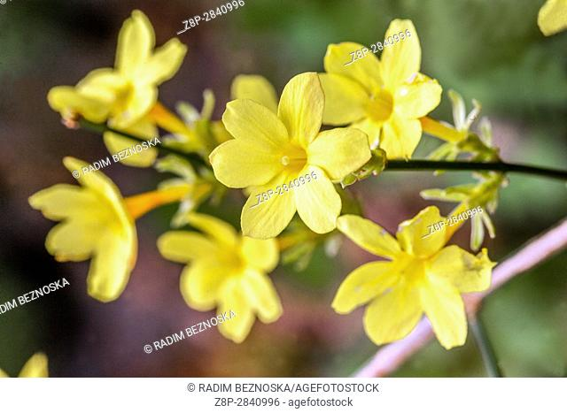 Winter jasmine, Jasminum nudiflorum, flowering twigs