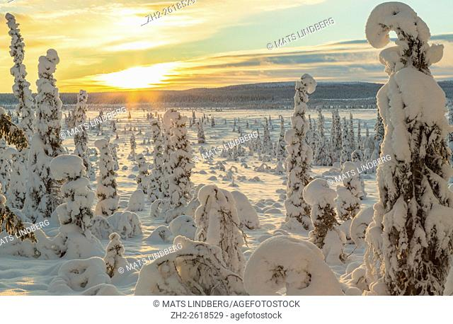 Winter landscape in direct light in warm after noon light, with plenty of snow on the trees, Gällivare, Swedish Lapland, Sweden