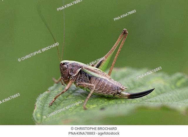 Bog Bush-cricket Metrioptera brachyptera - Eext, Hondsrug, Drenthe, The Netherlands, Holland, Europe