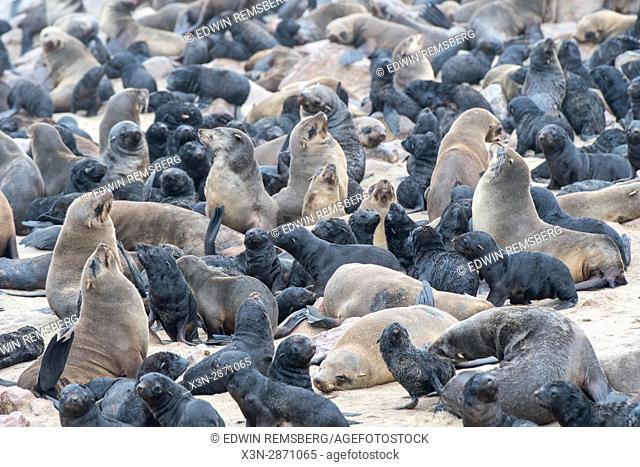 Cape fur seals are gathered and resting along the beaches of Cape Cross, located in Namibia, Africa. The Cape Cross Seal Reserve is the largest government...