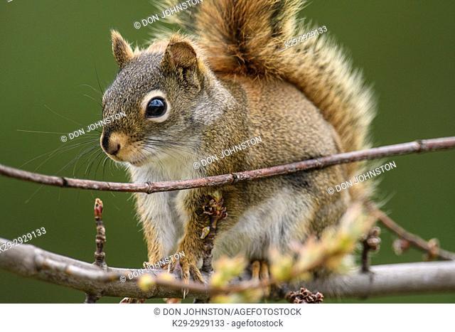Red squirrel (Tamiasciurus hudsonicus) Foraging in backyard maple tree, Greater Sudbury, Ontario, Canada