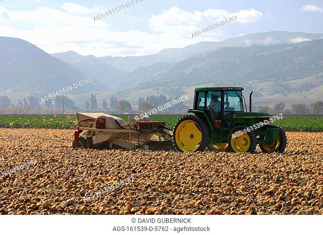 Agriculture - A tractor pulls a mechanical onion harvester through a field of mature onions, lifting the onions from the soil and removing the tops before...