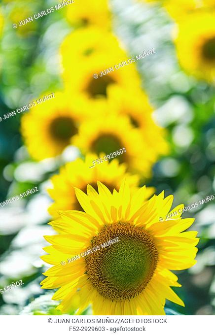 Sunflower, Indre-et-Loire Department, The Loire Valley, France, Europe