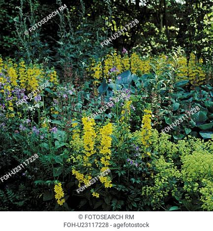 Lysimachia in border of large country garden in summer