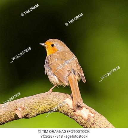 A Robin on a branch (Erithacus rubecula) in the uk