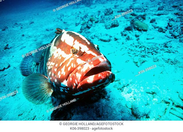 Nassau Grouper (Epinephelus striatus). Bahamas. Caribbean. Atlantic Ocean
