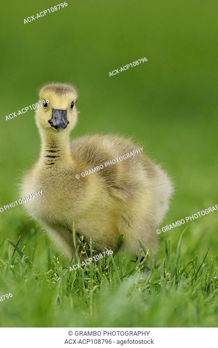 Canada Goose gosling, Branta canadensis, in green grass, Point Pelee National Park, Ontario, Canada