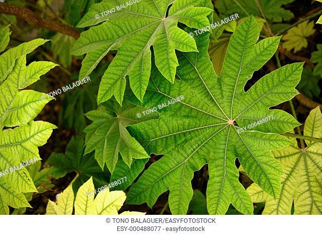 Aralia papirï½fera leaves details Araliaceae from China, macro detail