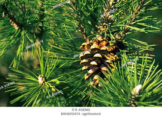 mountain pine, mugo pine (Pinus uncinata, Pinus mugo ssp. uncinata), branch with cone