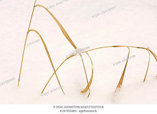 Bearded shorthusk (Brachyelytrum erectum). Dead grass and fresh snow. Lively, Ontario