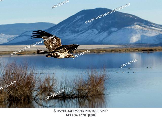Bald Eagle (Haliaeetus leucocephalus) flying, juvenile phase, Klamath Basin National Wildlife Refuge; Merrill, Oregon, United States of America