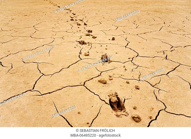 Tracks of a deer in the parched loam