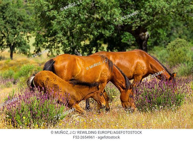 Horse (Equus ferus caballus), Campanarios de Azaba Biological Reserve, Salamanca, Castilla y Leon, Spain, Europe