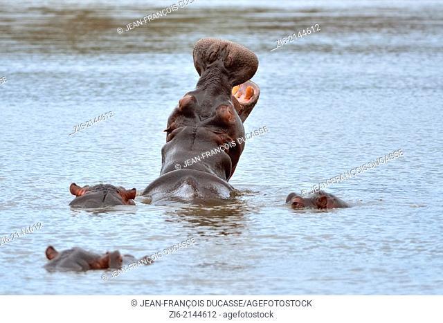 Hippopotamus (Hippopotamus amphibius), yawning, Kruger National Park, South Africa, Africa