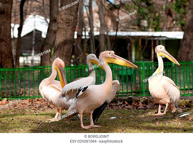 Group of four Pelicans, Pelecanus onocrotalus