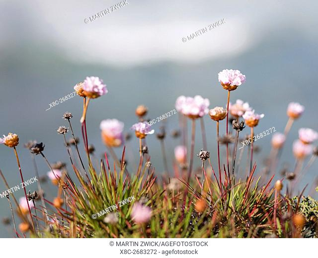 Armeria pungens or spiny thrift at the Costa Vicentina. The coast of the Algarve during spring. Europe, Southern Europe, Portugal, March