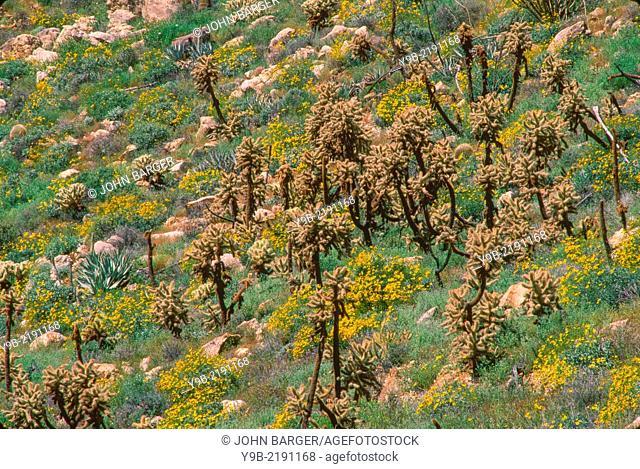 Brittlebush (Encelia farinosa) blooms alongside cholla, Mason Cactus Area, Anza-Borrego Desert State Park, California, USA