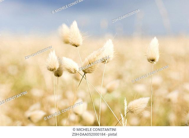 Hare's tail grass Lagurus ovatus