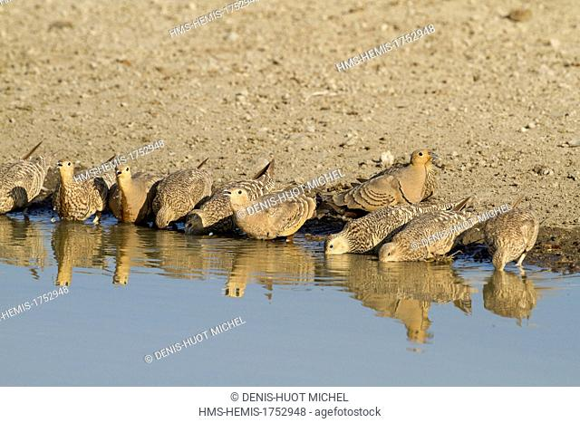 Kenya, Lake Magadi, Chestnut-bellied Sandgrouse (Pterocles exustus), coming for drinking