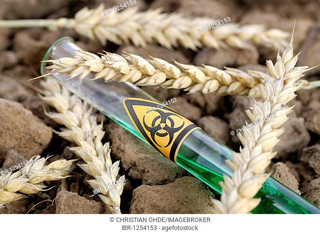 Test tube with biohazard sign and ears of wheat, genetically manipulated wheat