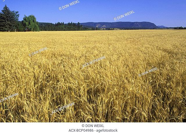 Spallumcheen wheat field, North Okanagan, British Columbia, Canada